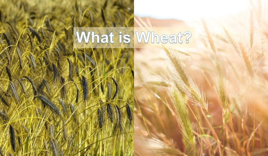 What is Wheat?